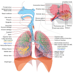 Effects of Smoking on the Respiratory System