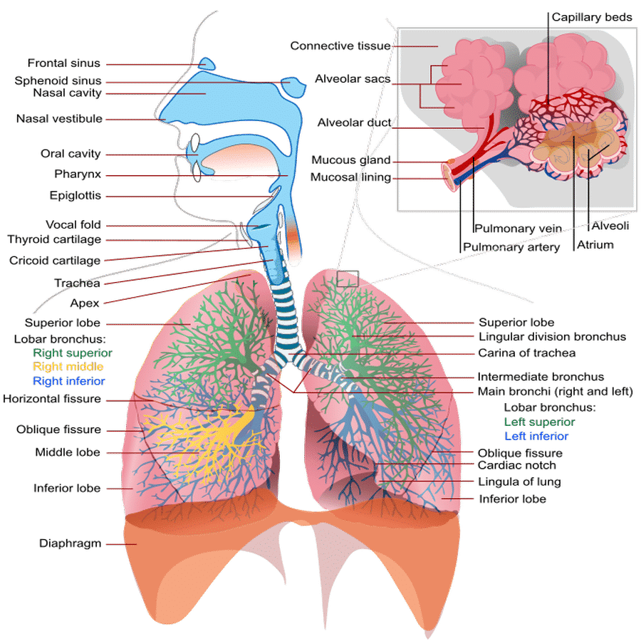 Effect of smoking on the respiratory system
